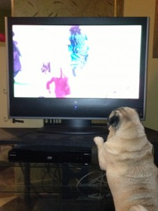 The pugs love to watch television, especially if there are dogs or horses in the show