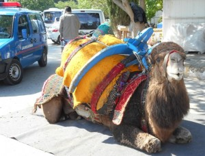 A Camel Relaxes in Turkey