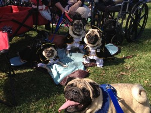 Kashi visits with the Three Pugsketeers at Pugtoberfest